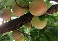 果実を守るブルーム