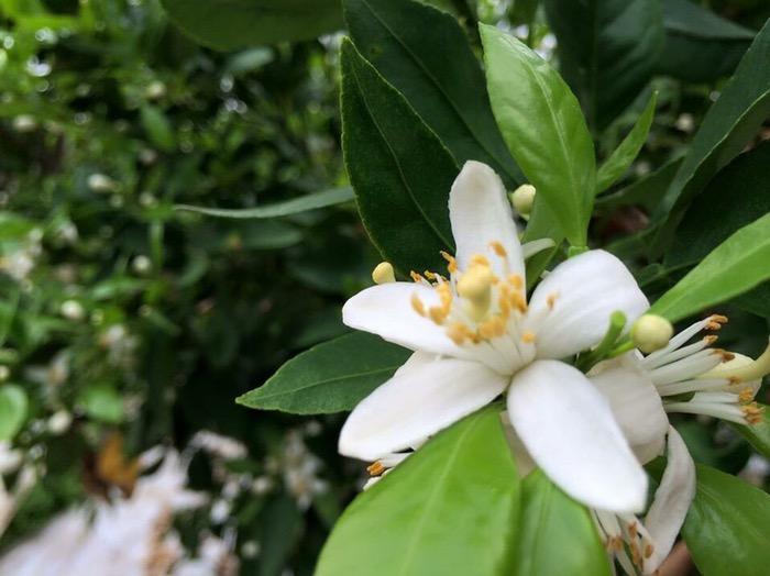 デコポンの花