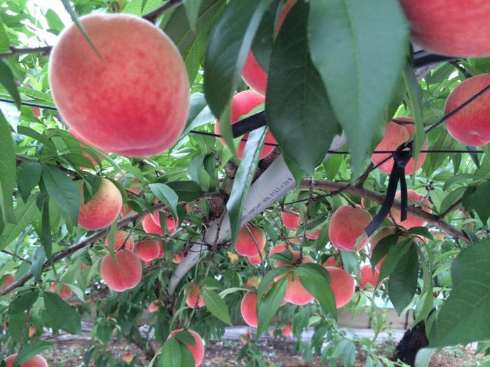 完熟の桃は、どれ?
