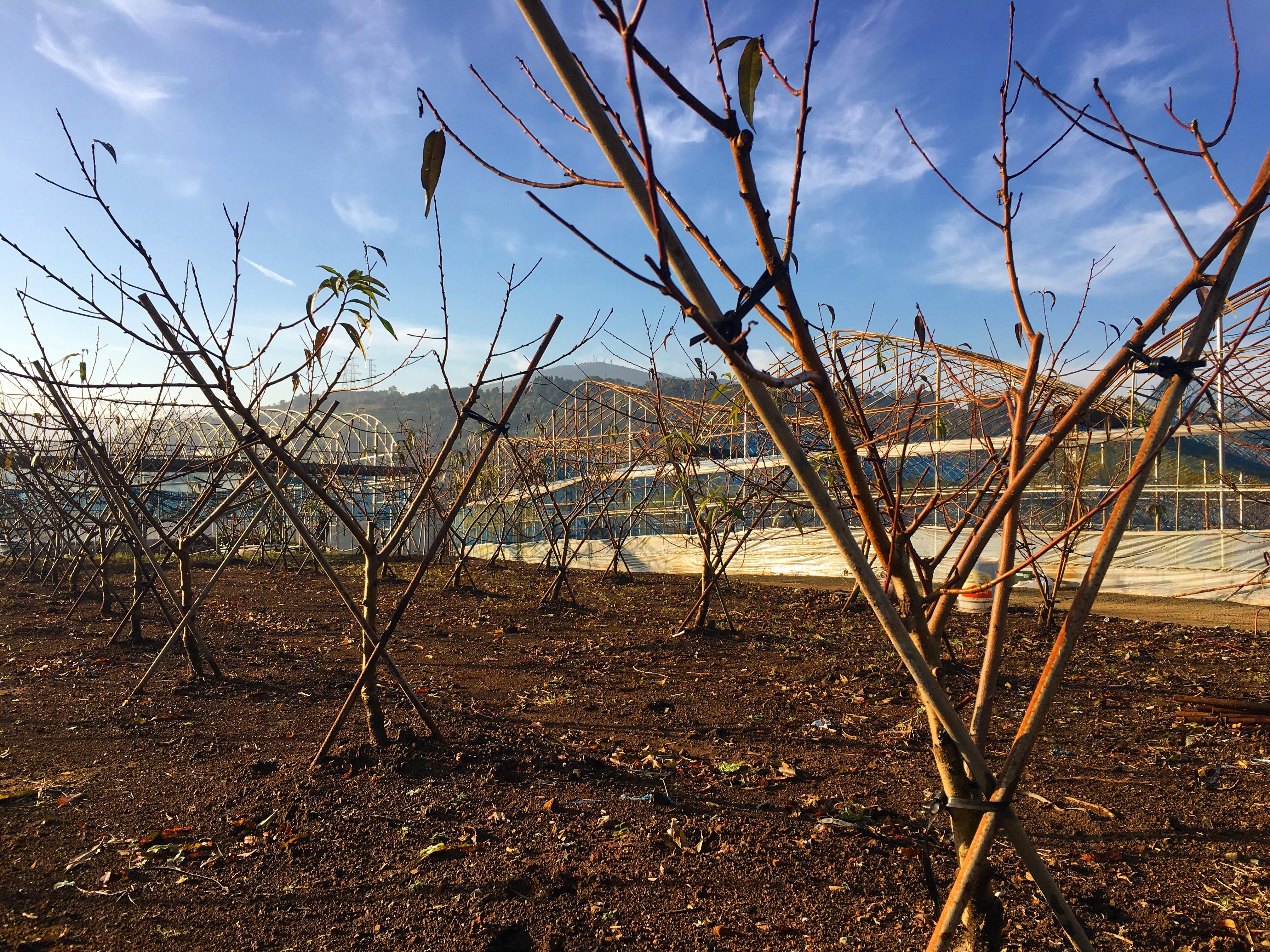 桃の樹の移植